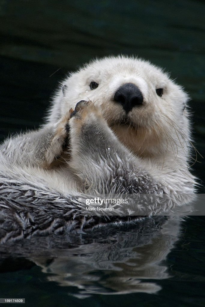 Sea Otter, closeup : Foto de stock