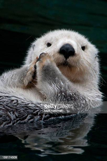 sea otter, closeup - lontra imagens e fotografias de stock
