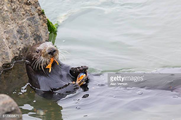 sea otter eating a mussel - sea otter stock photos and pictures