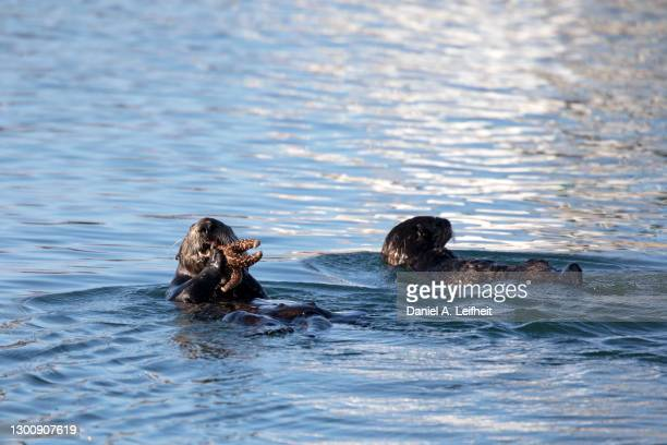 sea otter eating a starfish in alaska - kachemak bay stock pictures, royalty-free photos & images