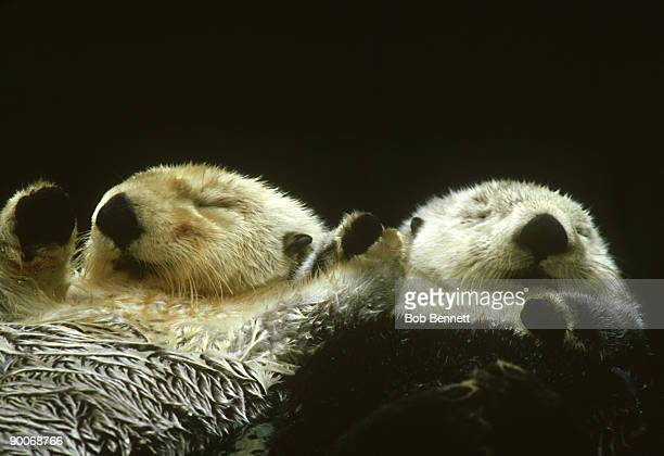 sea otter, enhydra lutris, north america - sea otter stock photos and pictures