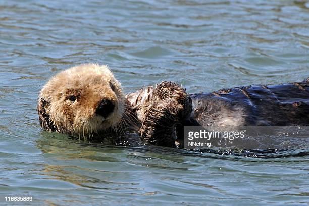 sea otter, enhydra lutris - sea otter stock photos and pictures