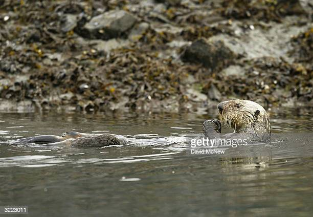 A sea otter feeds April 6 near Valdez Alaska It is fifteen years since the Exxon Valdez supertanker split open on a submerged reef and spilled 11...