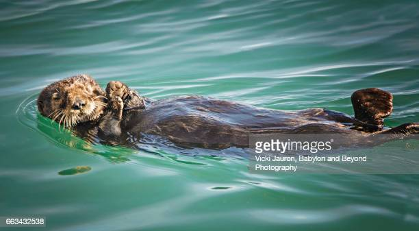sea otter floating in monterey bay - sea otter stock photos and pictures