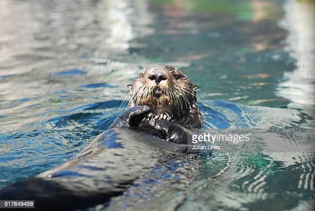 Sea Otter floating on back