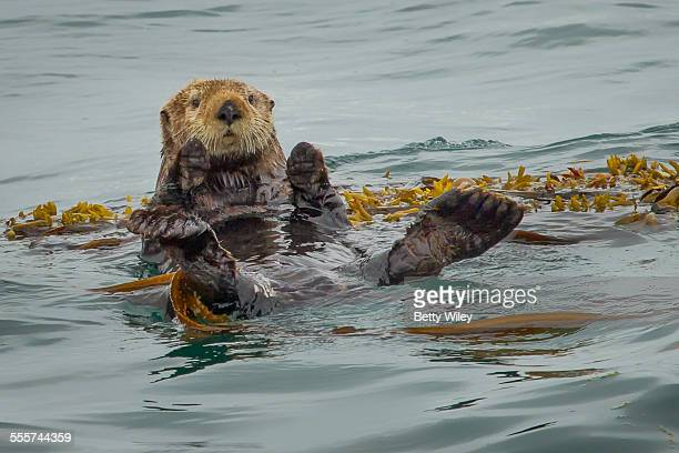 sea otter floating on kelp - sea otter stock photos and pictures