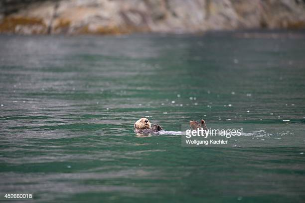 Sea otter in ocean near George Island off Chichagof Island Tongass National Forest Alaska USA