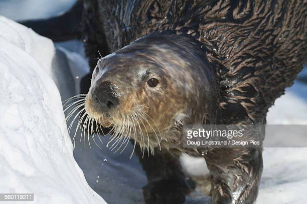 sea otter in whittier, alaska. winter. otters. southcentral alaska. - animal whisker stock pictures, royalty-free photos & images