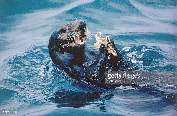 sea otter is about to eat a starfish. enhydra lutris. monterey bay, california. - river otter stock pictures, royalty-free photos & images
