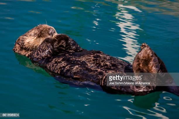 Sea otter is floating on its back Seward Alaska