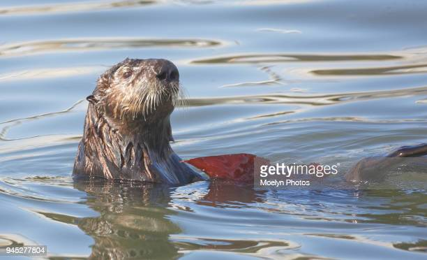 sea otter & kelp - sea otter stock photos and pictures