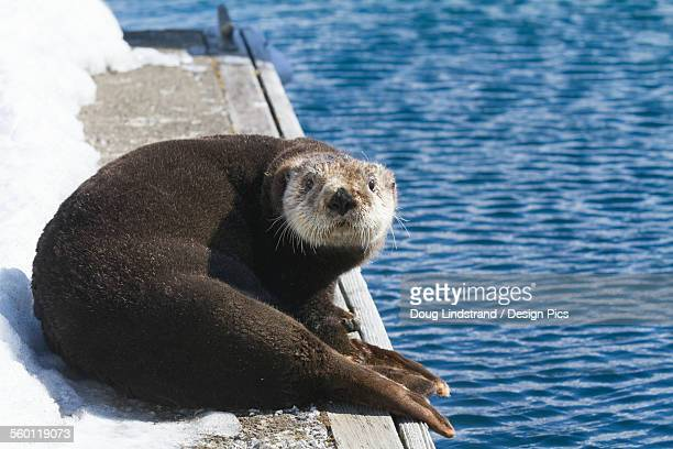 sea otter laying on dock in whittier, southcentral alaska, spring - sea otter stock photos and pictures