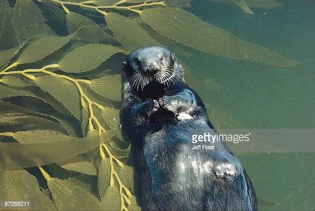 sea otter lays on back in water with clam on chest, surrounded by kelp. enhydra lutris. monterey bay, california. - sea otter stock photos and pictures