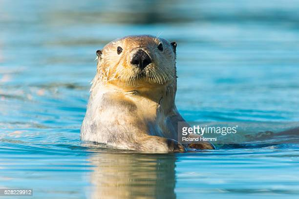 sea otter (enhydra lutris) looking into the camera; cordova, alaska, united states of america - sea otter stock photos and pictures