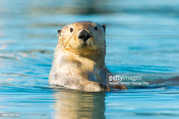 sea otter (enhydra lutris) looking into the camera - sea otter stock photos and pictures