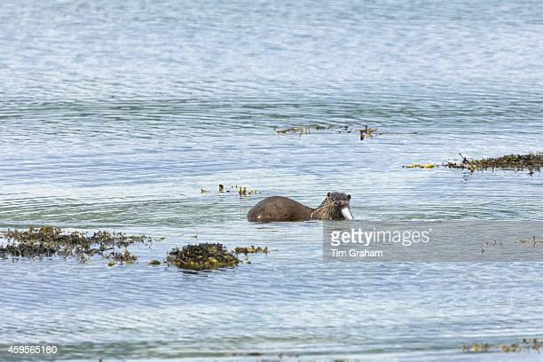 Sea Otter Lutra lutra carnivorous semiaquatic mammal feeding on conger eel at side of loch on Isle of Mull in the Inner Hebrides and Western Isles...