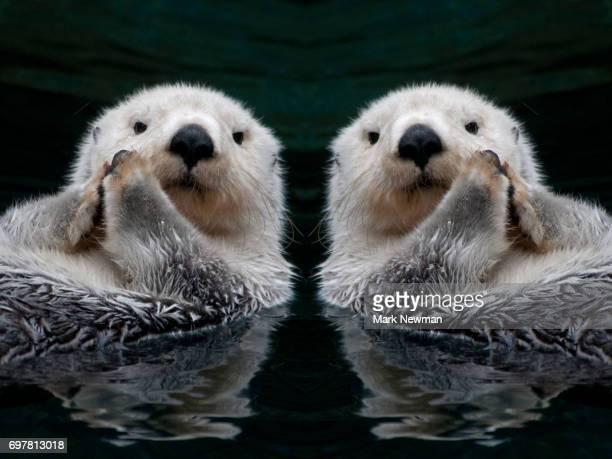 sea otter, mirror image - sea otter - fotografias e filmes do acervo