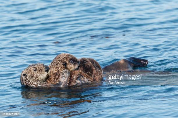 Sea Otter Mother carrying her baby