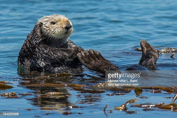 sea otter (enhydra lutris) on back with feet up - sea otter stock photos and pictures