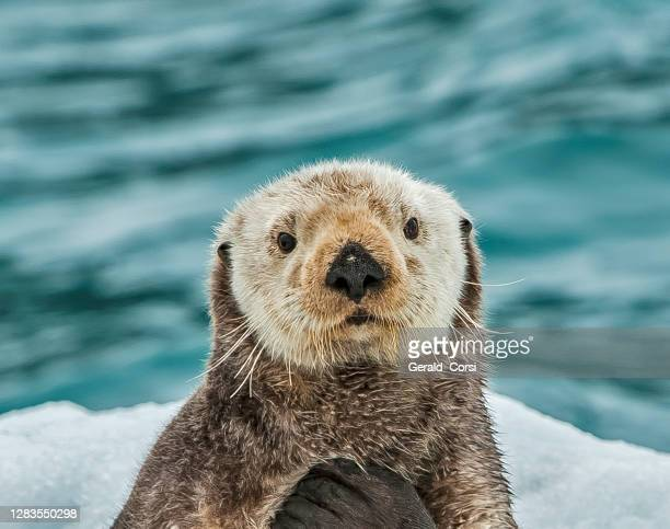 sea otter on ice,  enhydra lutris,  prince william sound,  alaska, in front of surprise glacier. resting on the ice from the glacier. - threatened species stock pictures, royalty-free photos & images