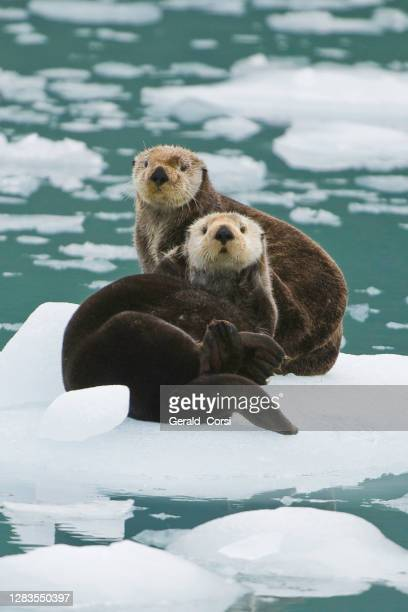 sea otter on ice,  enhydra lutris,  prince william sound,  alaska, in front of surprise glacier. resting on the ice from the glacier. - animal body part stock pictures, royalty-free photos & images