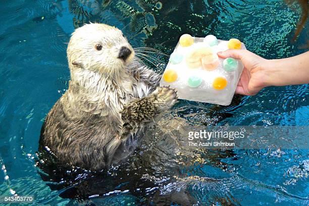 Sea otter 'Pata' receives a colourful ice cube to celebrate her 20th birthday at Osaka Aquarium Kaiyukan on June 26, 2016 in Osaka, Japan. Pata will...