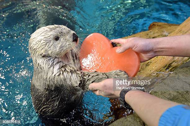 Sea otter 'Pata' receives a heartshaped ice from a staff ahead of the Valentine's Day at the Osaka Aquarium Kaiyukan on February 5 2016 in Osaka Japan
