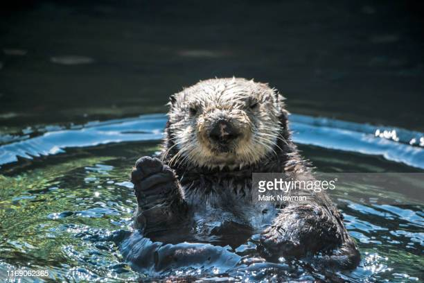 sea otter - lontra imagens e fotografias de stock
