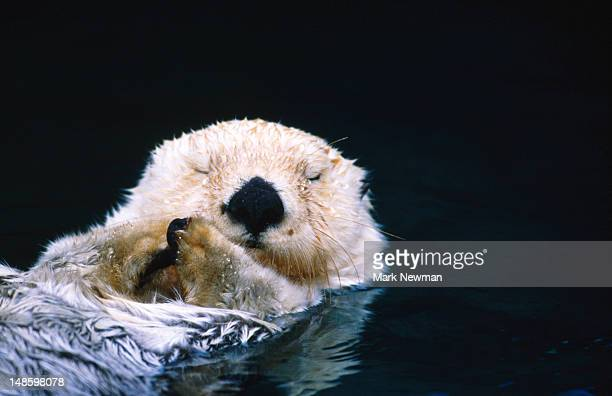sea otter (enhydra lutris). - sea otter stock photos and pictures
