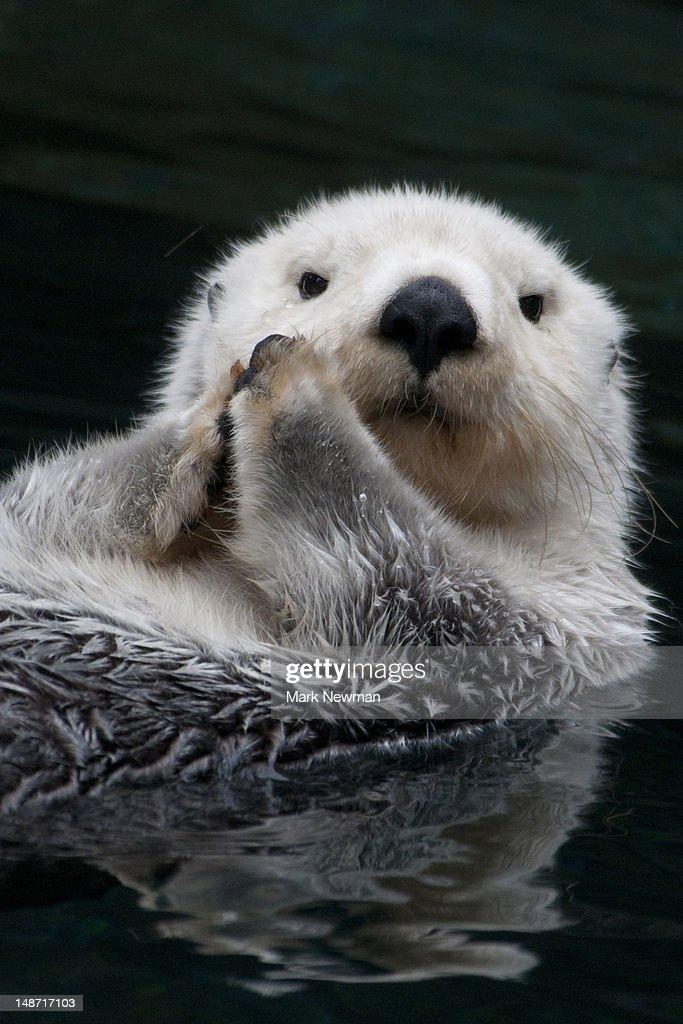 Sea otter. : Stock Photo