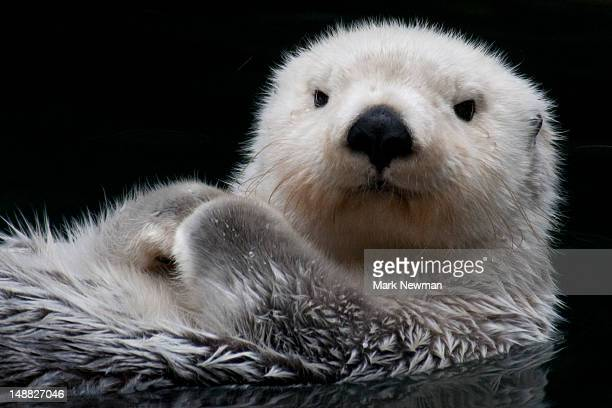 sea otter. - sea otter stock photos and pictures
