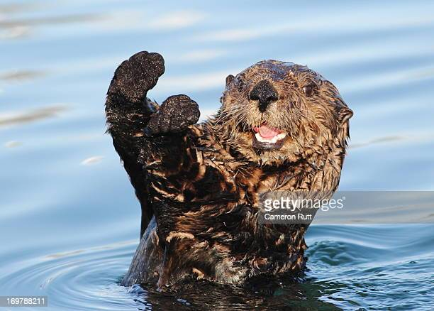 sea otter (enhydra lutris) - sea otter stock photos and pictures