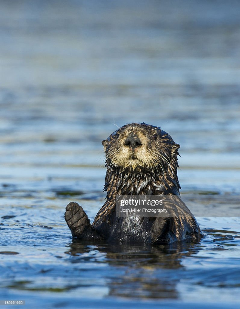 Sea otter (Enhydra lutris) : Foto de stock