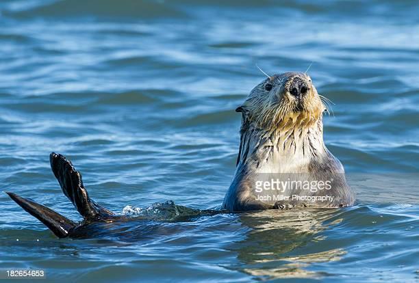 sea otter (enhydra lutris) - sea otter - fotografias e filmes do acervo