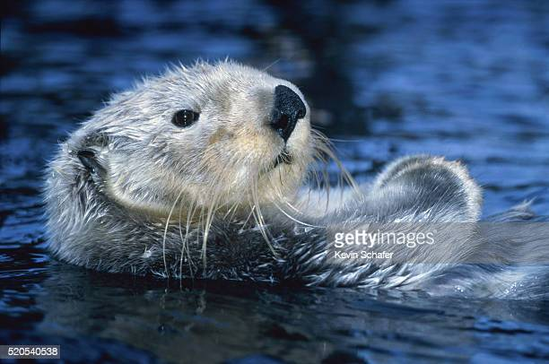 sea otter - sea otter stock photos and pictures