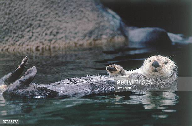 sea otter pup floats on its back. enhydra lutris. - river otter stock pictures, royalty-free photos & images
