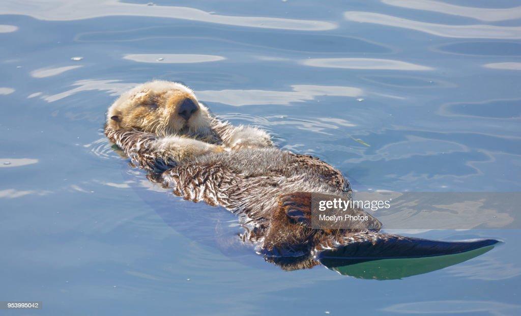 Sea Otter Relaxing on its Back : Foto de stock