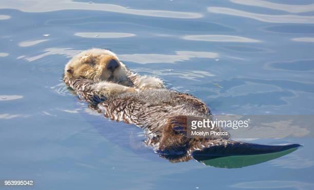 sea otter relaxing on its back - sea otter - fotografias e filmes do acervo