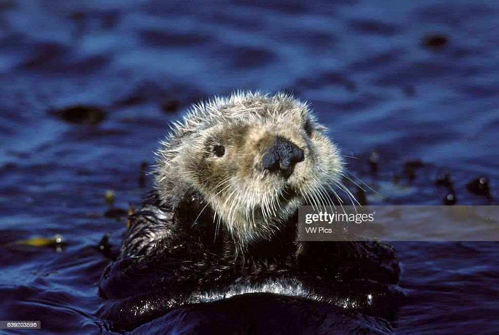 Sea otter : Foto jornalística