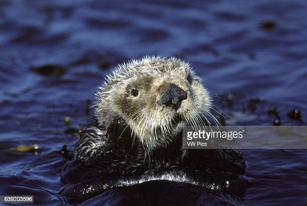 Sea otter resting in kelpEnhydra lutrisMonterey Bay California