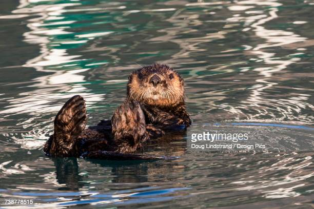 sea otter (enhydra lutris), seward small boat harbor, south-central alaska - sea otter stock photos and pictures