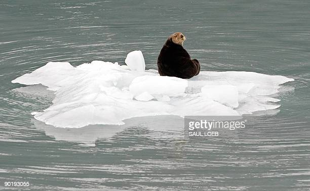 A sea otter sits on a chunk of ice that fell from a glacier in the Prince William Sound near Whittier Alaska August 30 2009 AFP PHOTO / Saul LOEB