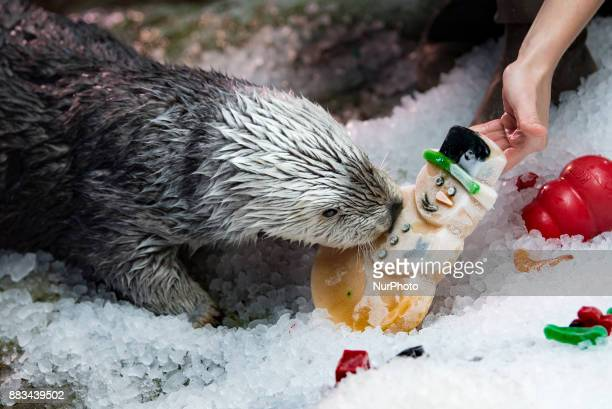 A sea otter snacks on a frozen holiday treat during the Aquarium of the Pacifics Holiday Treats for the Animals festival in Long Beach California on...