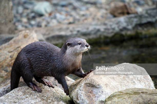sea otter standing on rocks - sea otter stock photos and pictures