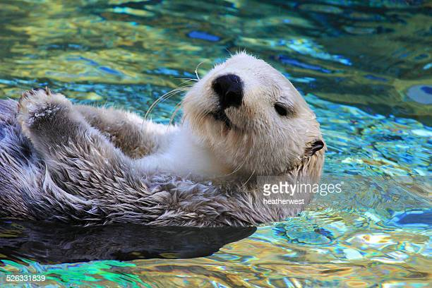 sea otter swimming in blue water - sea otter stock photos and pictures