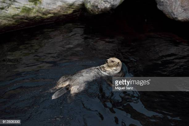 sea otter swimming in dark water - sea otter stock photos and pictures