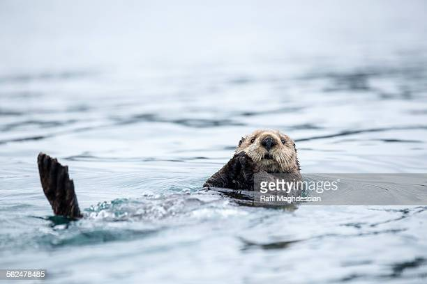 sea otter swimming in is back - sea otter stock photos and pictures