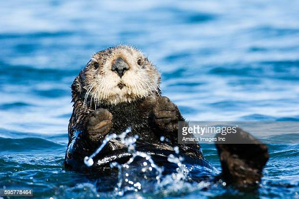 sea otter swimming - sea otter stock photos and pictures