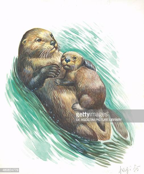 Sea otter swimming with young illustration