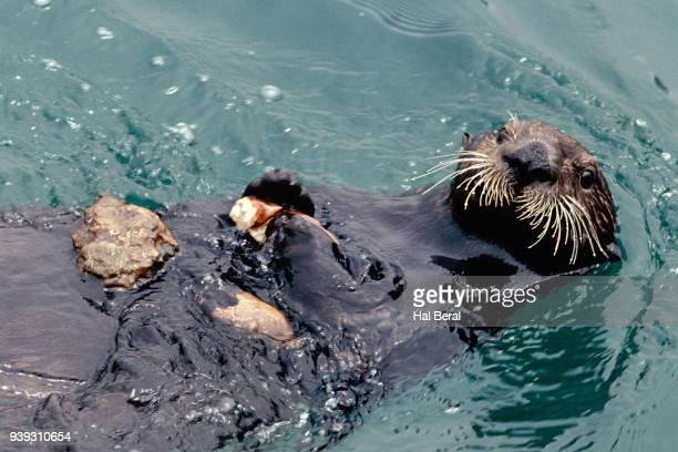 sea otter using stone on stomach to crack crab - sea otter stock photos and pictures